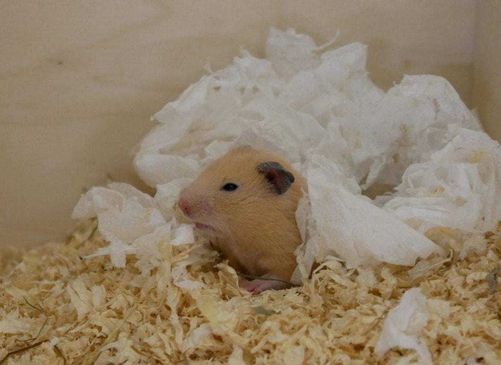 goldhamster-nestbau-papiertaschentuch