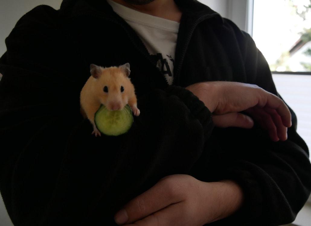 zutraulicher-hamster-mit-gurke