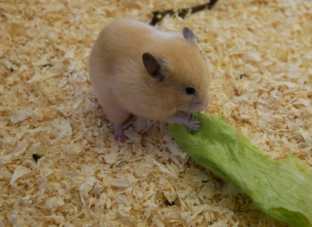goldhamster-mit-salat