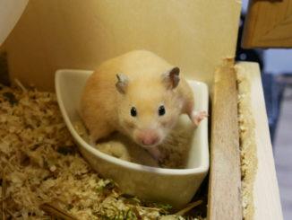 hamster-auf toilette-klo