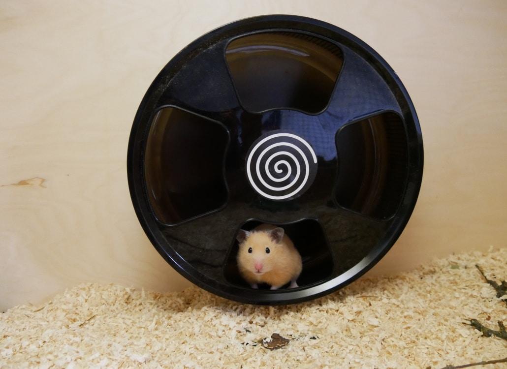hamster-im-laufrad