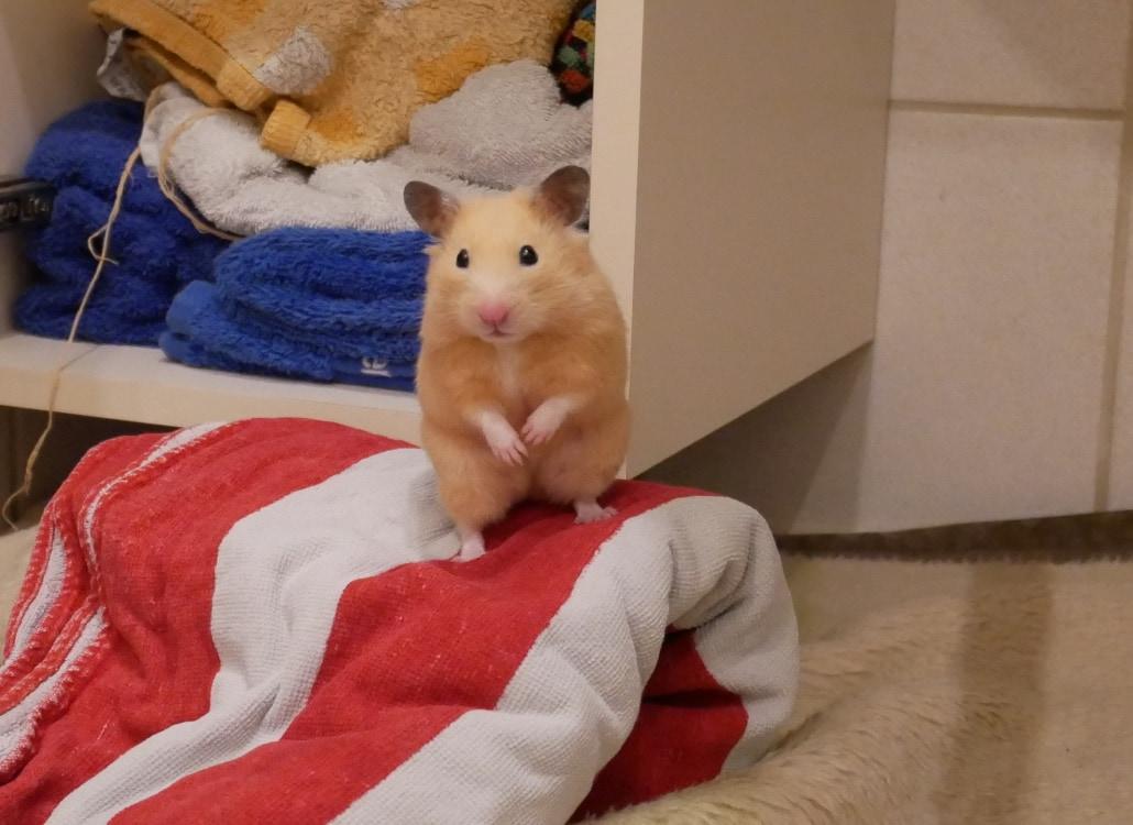 hamster-als-haustier