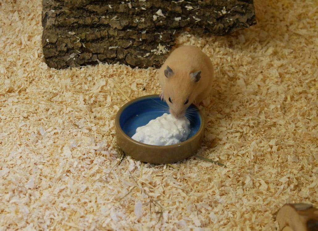 hamster-frisst-quark