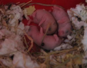 hamsterbabies
