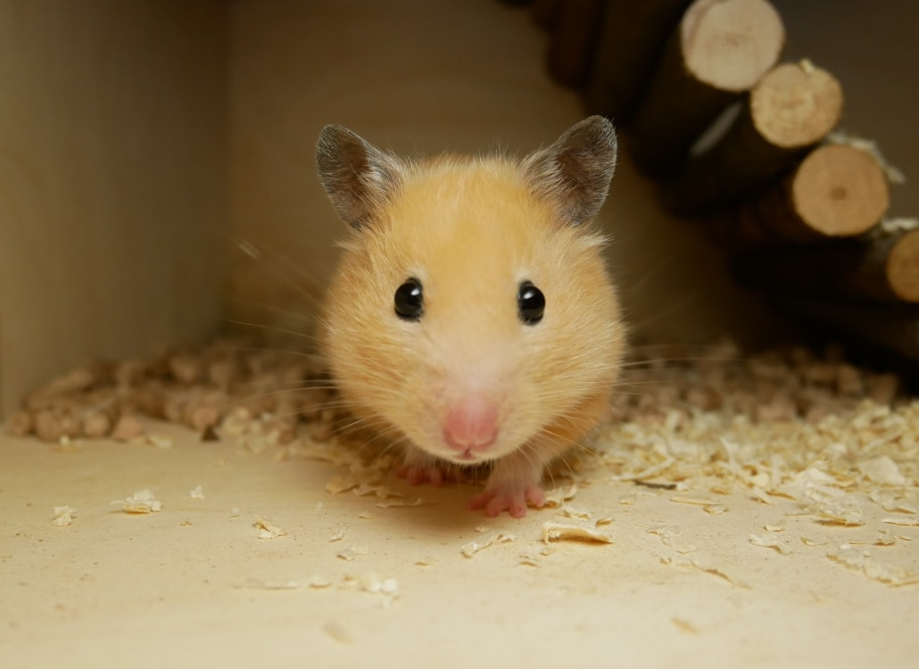goldhamster-sehen