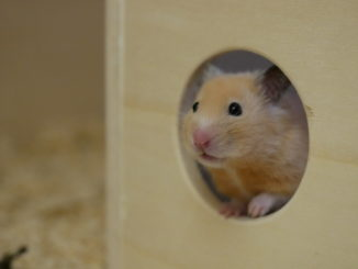 sinne-goldhamster